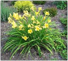 day lilies perennial tips for summer maintain midsummer perennials gardening