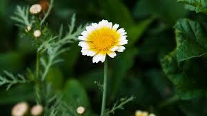 margarita una margarita no es una flor juan carlos vivancos
