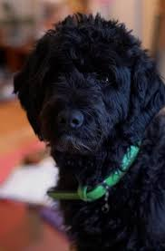 portuguese water dogs 18 facts unusual
