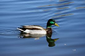 free duck hd wallpapers background free wallpapers