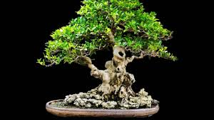 bonsai meaning various interpretations