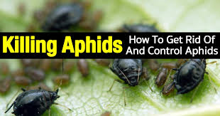 How To Get Rid Of Flies In The Backyard by How To Get Rid Of Aphids 12 Organic Tips And More