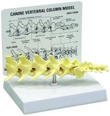Dog Body Parts Anatomy Anatomy Model Lumbar Spine Canine