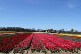 Netherlands Tulip Fields Dutch Springtime A Festival Of Flowers Notesfromcamelidcountry