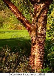 stock photo of cherry tree bark shiny bark of cherry