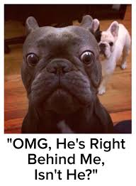 Meme French - 10 best french bulldog memes of all time