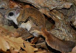 while some flying squirrels are endangered in pennsylvania others
