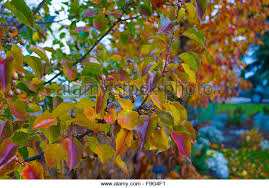 hardy pear tree stock photos hardy pear tree stock images alamy