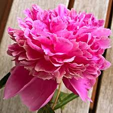 Peony Flowers by Peonies Free Pictures On Pixabay