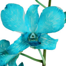 blue dendrobium orchids dendrobium orchids