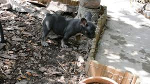 belgian shepherd for sale philippines patsy french bulldog puppy for sale euro puppy