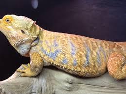 breed breed u2022 bearded dragon org