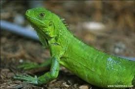 imágenes de iguanas verdes iguanas verdes de centro america en santo tomé santa fe animales y