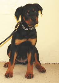 australian shepherd rottweiler mix puppy trained dogs for sale family obedience u0026 protection dogs