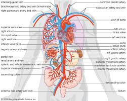 Anatomy And Physiology Of Lungs Circulation Anatomy And Physiology Britannica Com