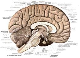 Pictures Of Anatomy Of The Human Body Human Brain Wikipedia