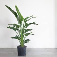 birds of paradise flowers bird of paradise plant in 10 grower s pot