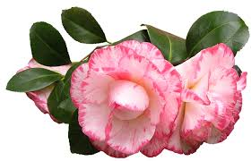 camellia flowers camellia flowers leaves free photo on pixabay