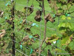 Planting Grapes In Backyard Part 5 Growing Berries And Grapes In Your Mini Fruit Garden