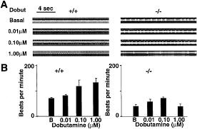 ablation of serotonin 5 ht2b receptors in mice leads to abnormal