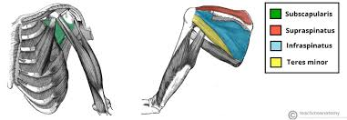 the intrinsic muscles of the shoulder teachmeanatomy