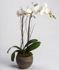 orchid plants white orchid plant delivery philadelphia pa same day office delivery