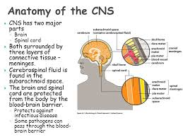 Blood Brain Barrier Anatomy Micr 201 Microbiology For Health Related Sciences Ppt Video
