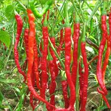 red chili pepper seeds organic vegetable garden courtyard with