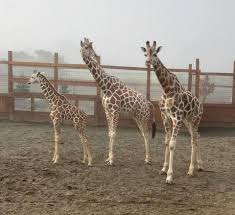 tajiri the giraffe videos april the giraffe nursing baby tajiri