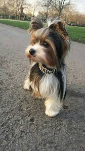 yorkie hair cut chart cute dog looking adorable with it s accessory cute pets