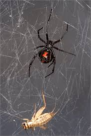 dna extracted sequenced from black widow spider web