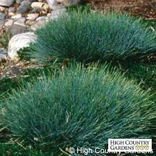 20 best ornamental grasses images on drought tolerant