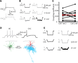 chandelier cells state dependent function of neocortical chandelier cells journal