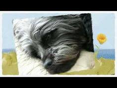 affenpinscher qualities 20110302 pyynosonia 1106 dog and animal