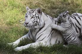 white tiger cubs maul zookeeper to in india chicago