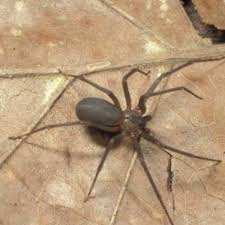 brown recluse spiders pests in tennessee pest identifier u s