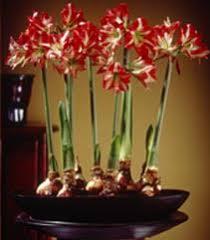 bulbs olbrich botanical gardens
