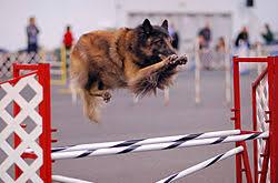belgian sheepdog australia tervuren dog wikipedia