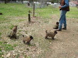 belgian sheepdog pups belgian tervuren puppies youtube