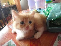 Hair Dryer Khusus Kucing domestic medium hair cats sold 5 years 11 months kucing