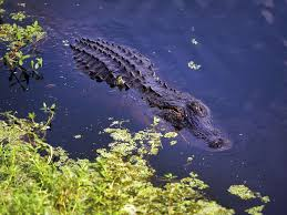 if it u0027s a florida body of water it can hold an alligator news