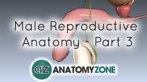introduction to male reproductive anatomy part 3 the