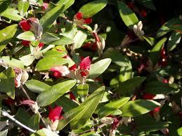 western australia native plants gastrolobium wikipedia