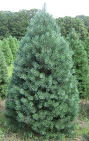 christmas tree varieties available christmas tree types