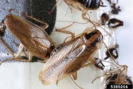 How To Get Rid Of Roaches In The Bathroom Public Enemy No 1 How To Get Rid Of The Palmetto Bug And Its Kin