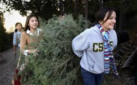 where to cut your own christmas tree the sacramento bee