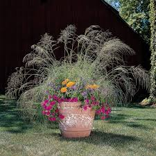 you can grow that august 2013 annual ornamental grasses