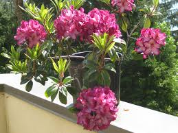 flowers nature old seattle hybrid blooming flower rhody nice