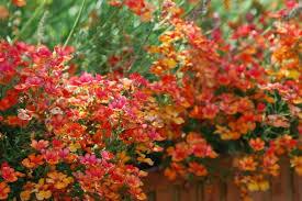 wall flowers erysimum wallflowers