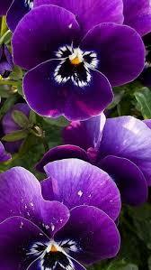 fiori viola la viola pensiero 礙 un fiore stupendo flowers such